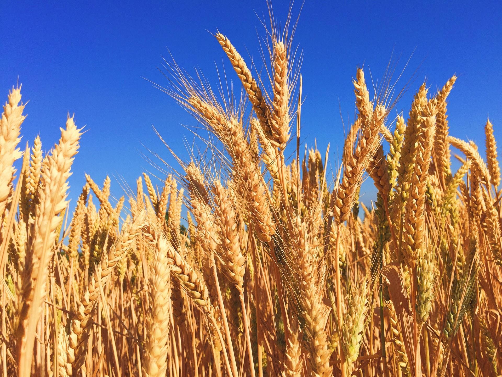 wheat-sun